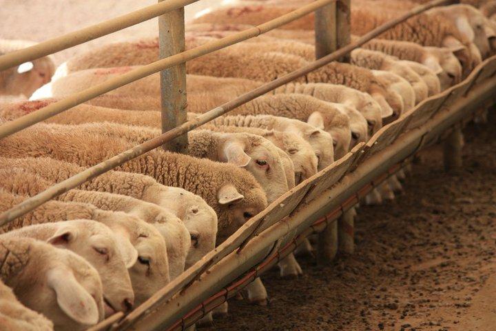 Tomis lamb feedlot